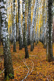 Birch grove in autumn. Trunks of birch trees in autumn forest royalty free stock photo