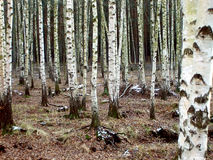 Birch grove by autumn. Russian birches in grove at dull autumn day Royalty Free Stock Image