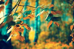 Birch branches with colorful leaves royalty free stock photo
