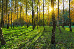 Birch grove at autumn day Stock Photo
