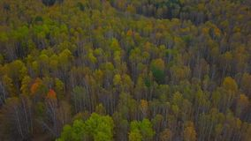 Birch Grove in Autumn. Drone Flying Above Colorful Yellow Leaf-Bearing Deciduous Fall Forest. Aerial View stock footage