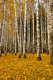 Birch grove in autumn. Birch Grove in fallen leaves stock photo