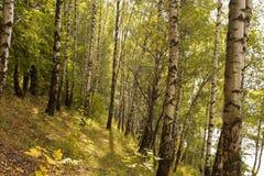 Birch grove Royalty Free Stock Photography
