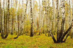 Birch grove in autumn Stock Photography