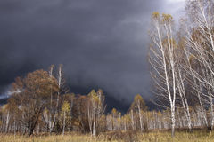 Birch grove in autumn. And rainy clouds Royalty Free Stock Photo