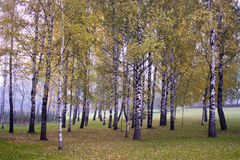Birch grove autumn times. A birch grove autumn times Royalty Free Stock Photography