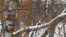Birch grove in autumn. In autumn woods among birches in the woods of Russia stock video footage