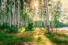 Birch grove background. Morning dawn in the birch forest.  stock photography
