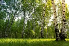 Birch grove background. Morning sunrise in the birch forest.Summer background. Birch grove background. Morning sunrise in the birch forest royalty free stock images