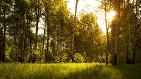 Birch grove background. Morning sunrise in the birch forest.Summer background. Birch grove background. Morning sunrise in the birch forest stock photo