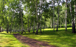 Birch grove. Beautiful summer landscape birch grove paths and sunlight filtering through the foliage stock image