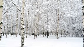 A birch grove. In a city park after a snowfall royalty free stock photo