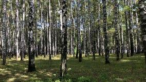 Birch grove on a clear sunny autumn day