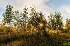 Birch grove at dawn Stock Image