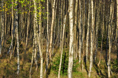 Birch grove in deep autumn Royalty Free Stock Images