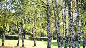 Birch Grove in early autumn on sunny day. Birch Grove in early autumn on a sunny day stock video footage