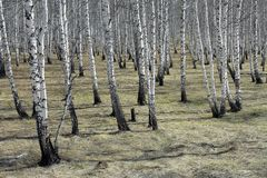 Birch Grove in the early spring Stock Photography
