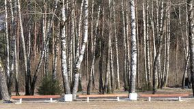 Birch grove in early spring. bench by the trees. Birch grove in early spring. bench by the trees stock video footage