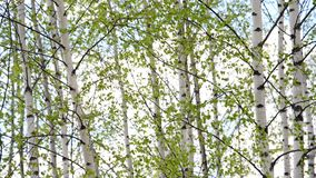 Birch grove in early spring. Young birch grove in an early spring stock video