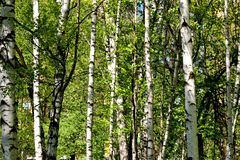 Birch grove in the early summer Royalty Free Stock Photography