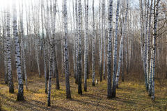 Birch grove. With fallen leaves. Autumn landscape. Ukraine Royalty Free Stock Photo