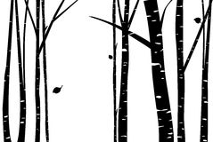 Birch grove with falling leaf. Silhouette Stock Photo