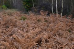 Birch Grove with Fern during Autumn Royalty Free Stock Photo