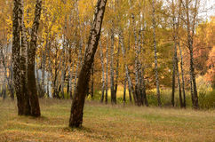 In birch grove on a fine autumn day Stock Photography