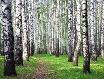 Birch grove in the first days of autumn royalty free stock image