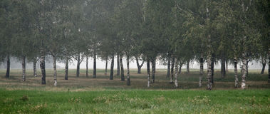 Birch grove with  with fog Royalty Free Stock Photography