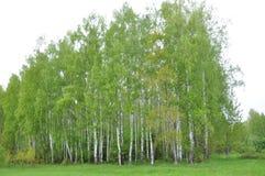 Birch Grove. stock photo