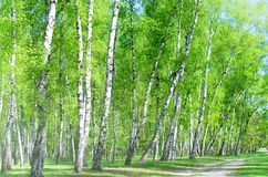 Birch grove, forest road Stock Photo