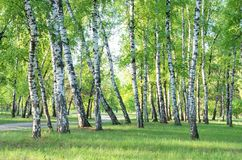Birch grove, forest trail, summer. Green foliage stock photography