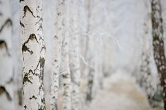 Birch grove under frost Stock Photo