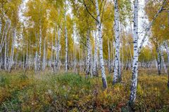Birch grove of golden autumn. Young birch grove of golden autumn. Krasnoyarsk region. Russia. Siberia Stock Images