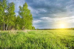 Birch Grove and green field at sunset Royalty Free Stock Image