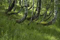 Birch grove with green grass and wildflowers Stock Photo