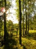 Birch Grove. Stock Image