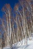 Birch grove on the hillside Stock Images
