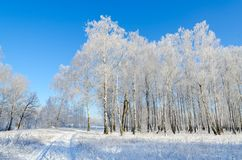 Birch grove in hoarfrost on clear sunny day. Picturesque winter landscape Stock Image