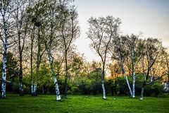Birch grove with its purity. Birch grove always impressed me with its purity. There are no bushes or thickets. Only green grass is growing Stock Photo