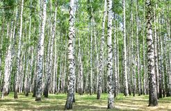 Birch grove in july Royalty Free Stock Photo