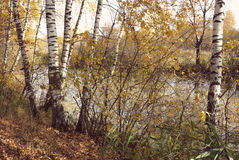 Birch grove on the lakeside of forest lake with Instagram style Royalty Free Stock Photo