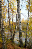 Birch grove on the lakeside of forest lake Royalty Free Stock Photography