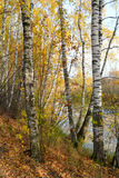 Birch grove on the lakeside of forest lake Stock Image