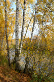 Birch grove on the lakeside of forest lake Stock Images