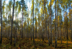 Birch Grove. The last warm days before the snow Royalty Free Stock Photos