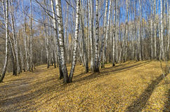 Birch Grove in the late autumn. Stock Image