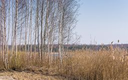 Birch Grove without leaves and reeds in early spring time royalty free stock photos