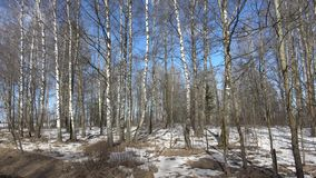 In a birch grove. This birch grove is located in the Mogilev region of the Gorki district on the way to the agro-town of Gory stock video footage